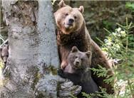 德国棕熊一家躲树后避镜头