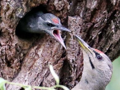 韩摄影师拍啄木鸟哺育幼崽 画面温馨