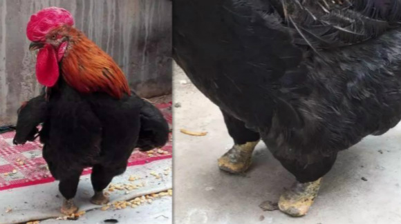 """""""鸡坚强""""断了一只脚 为恢复行走自己啄断另一只"""