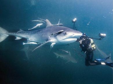 摄影师潜水与虎鲨面对面相遭遇
