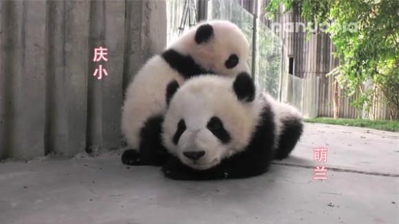 大熊猫给小伙伴按摩 萌化外国网友