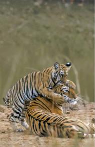 孟加拉虎宝宝紧抱妈妈脖子好暖心