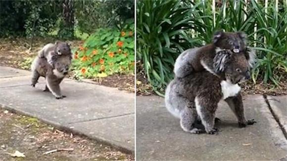 好有爱!澳小考拉趴在妈妈背上一起散步