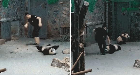 成都大熊猫幼仔被粗暴扔摔?真相竟是这样