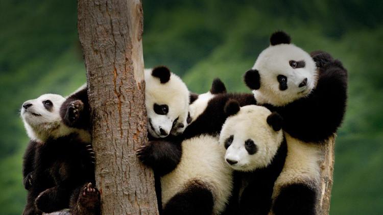 大熊猫国家公园正式获批 总面积近3万平方公里