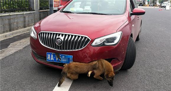 """女司机高速撞狗 惊慌中""""挂""""狗行驶40公里"""