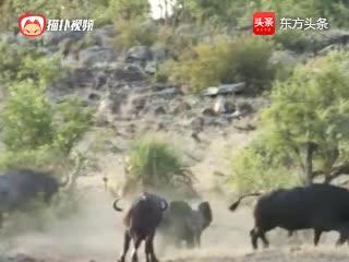 落单的象被狮群捕杀,生死关头野牛出手相救