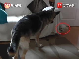 可爱小比熊和大狗狗玩躲猫猫,小比熊:你就抓不着我!