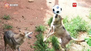 深圳:野生动物园群狼也过把足球瘾 顶球动作娴熟优美