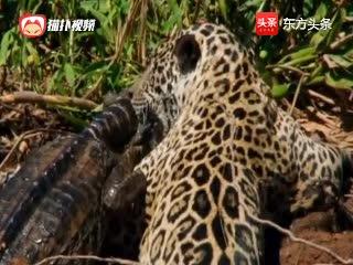 美洲虎猎杀大鳄鱼,虎哥你挺牛啊,虎哥表示:嘿嘿,经常吃