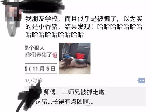 大学生在宿舍养猪被通报批评:因猪长太大被发现