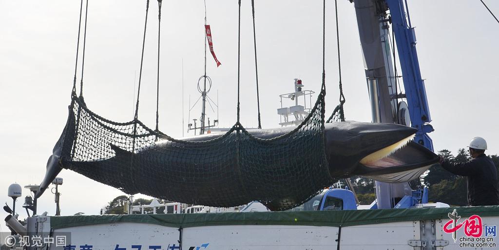 """日本重启""""科研捕鲸""""  捕鲸船捕获小须鲸带回港口"""