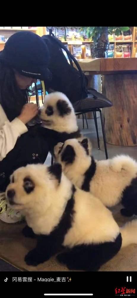 将狗染色成熊猫收费1500元 这是成都一宠物咖啡馆的熊猫狗