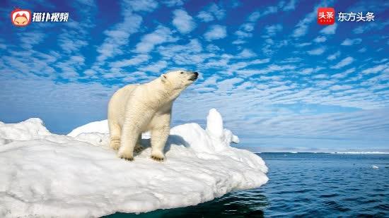 北極熊為何越來越消瘦?科學家給它們戴上項圈攝像頭,揭開了真相